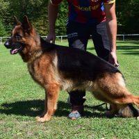 chiens-Berger-allemand-e36d2bfc-4e10-3d24-a13a-a951bf3e4470_min